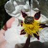 Hairy rose beetle