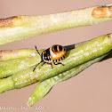 Ornate Shieldbug nymph