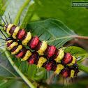Leopard Lacewing's Caterpillar