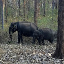 Indian elephant female with calf