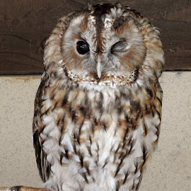 Blind Owl by Nicola Bake - Novices Only Wildlife ( farm, animals, owl, wildlife, blind )