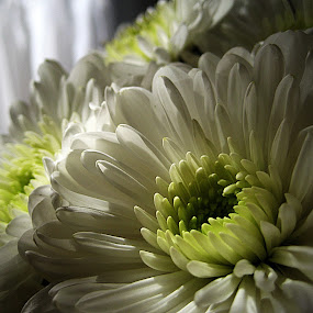 White flowers by Zoran Nikolic - Nature Up Close Flowers - 2011-2013 ( white flowers, flowers )
