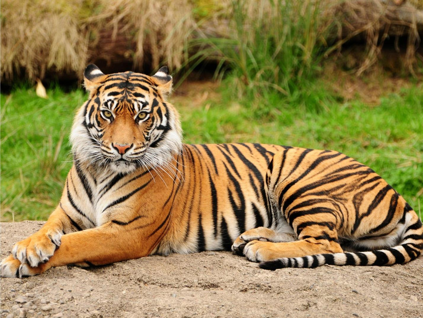 C:\Users\user\Desktop\blog pics\tiger7.jpg
