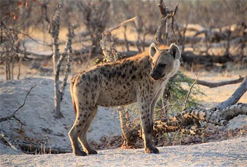 bushways-hyena.jpg