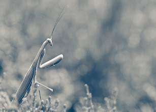 Photo: It's not called Praying Mantis by chance! Caught this one in it's morning prayers.