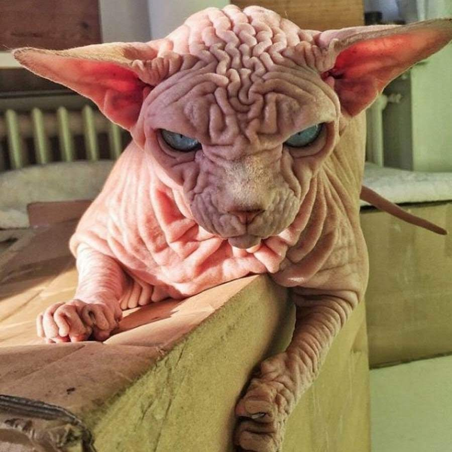 Кошка породы сфинкс