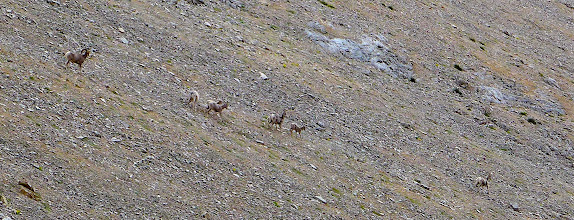 Photo: This herd was on the mountain when I go there and they were there until the storm moved in - 1 ram, 4 ewes, 3 young