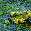 Perez's frog; Rana común
