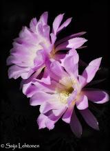 """Photo: """"Echinopsis Aurea"""" - © Saija Lehtonen http://saija-lehtonen.artistwebsites.com/featured/1-echinopsis-aurea-saija-lehtonen.html  #cactus #Floral #Nature #Arizona"""