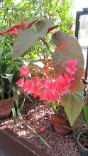 Photo: Begonia.