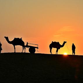 Ship of the desert by Amol Patil - Landscapes Deserts ( ;india, camel;desert;silhouette )