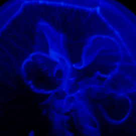 Jelly Fish by Jamie Hodge - Animals Sea Creatures ( sea creatures, nature, underwater, blue, sea, jellyfish,  )