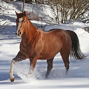 Valentine by Susan Hogan - Animals Horses ( Dogs, Cats, Pets, Rabbits, Animals, pet, livestock, cows,  )
