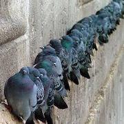 Примета голуби на подоконнике