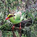 Common Green Magpie