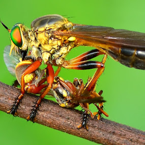 Robber Fly by Stevie Go - Animals Insects & Spiders ( rober, macro, insects )