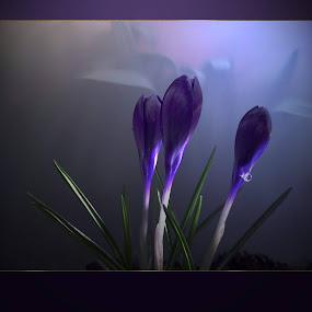 Crocuses by Ilona Stefan - Flowers Flower Buds (  )