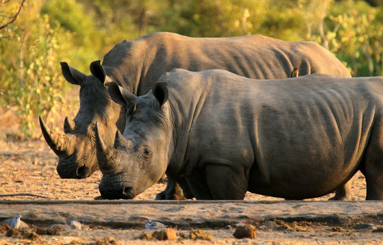 White rhino's in the Kruger National Park.
