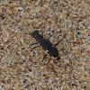 Tiger Beetle (H. biramosa)