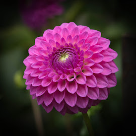 Its Pink by Janet Marsh - Flowers Single Flower ( dahlias )