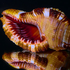 Hairy Triton (CYMATIUM PILEARE) Seashells by Dave Walters - Nature Up Close Other Natural Objects ( macro, seashells, nature up close, lumix fz2500, colors,  )