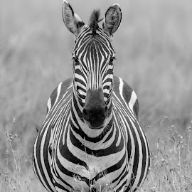 Black & White by Praveen Chandra - Animals Other ( masaimara, zebra, black&white )