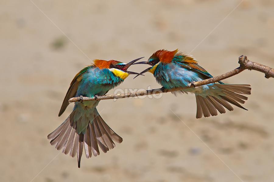 The squabble by Alberto Carati - Animals Birds
