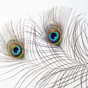 Watching Eyes by Martha van der Westhuizen - Nature Up Close Other Natural Objects ( colour, curves, nature, feathers, design, peacock, bright, lines )