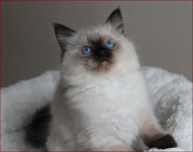 Photo: Čokinkine mačiatko- mačička Noblesse seal colorpoint