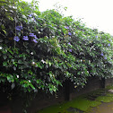 Blue clockvine