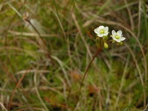 Photo: Blomst av rundslodugg