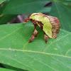 . Green Coat moth