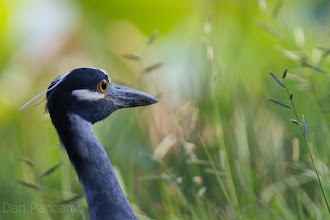 Photo: Yellow-crowned Night Heron - Brazos Bend State Park