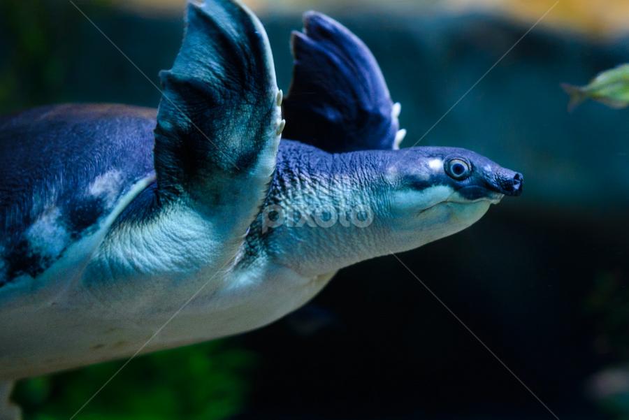 Pig Nosed Sea Turtle by Judy Rosanno - Animals Sea Creatures (  )
