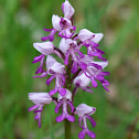 Military orchid, Helm-Knabenkraut