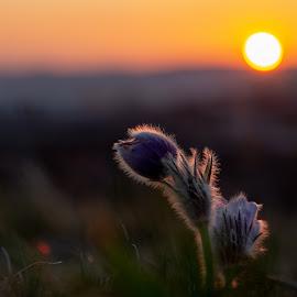 Pulsatilla by Petr Olša - Flowers Single Flower
