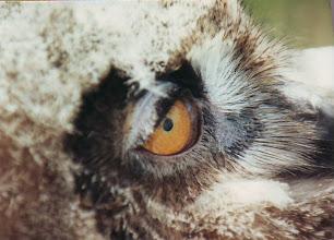 Photo: EUROPEAN EAGLE OWL