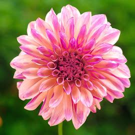 Tan & purple Dahlia by Jim Downey - Flowers Single Flower ( tan, green, dahlia, purple, petals )