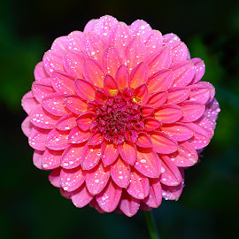 Dalhia n00290 by Gérard CHATENET - Flowers Single Flower