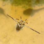 Water bug. Chinche de agua