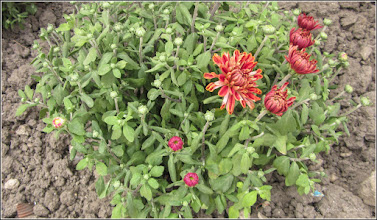 Photo: Crizanteme - din Turda,  Str. Tineretului - 2019.09.09
