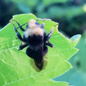 Robber Fly, Bumble Bee mimic