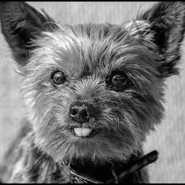 Dolly by Dave Lipchen - Black & White Animals ( dolly, yorkie )