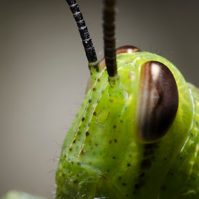 grasshopper's face by Erwan Photochrome - Animals Insects & Spiders