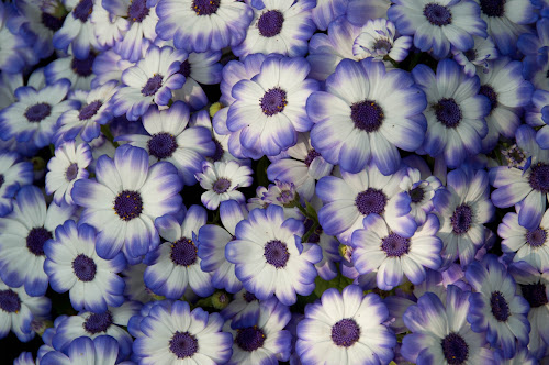 daisies by Rashmi Rai - Flowers Flowers in the Wild ( small flower, cluster of daisies, purple daisies )