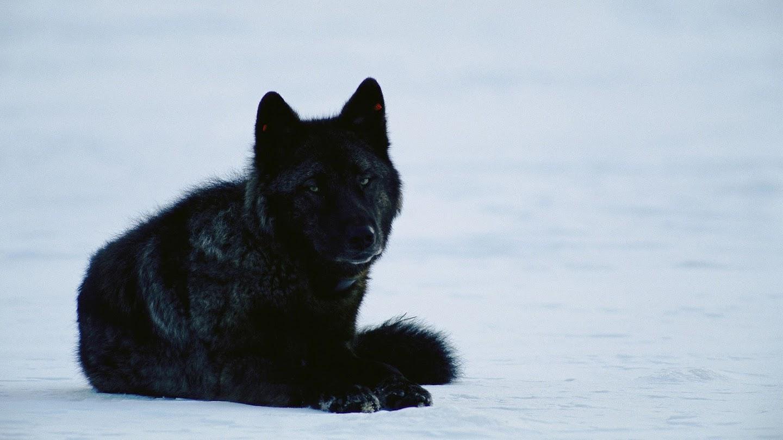 Yellowstone Wolf Dynasty