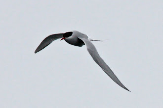 Photo: Arctic Tern