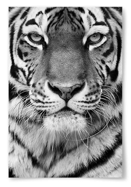 Poster Tiger Svartvit