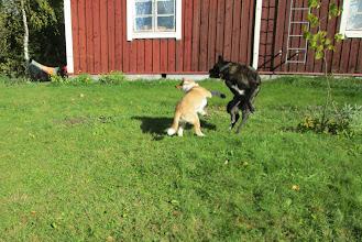 Photo: Ja leikkiä. En tiedä onko Onni nuortunut, mutta liikettä niveliin se ainakin on saanut pennun myötä :) Ehdottomasti paras päätös mitä olen keksinyt koirarintamalla vähään aikaan on tuo pikkukoira.