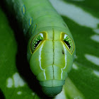 Caterpillar of Green Pergesa Hawkmoth